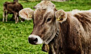 Resistenzen vom Tier zum Menschen?